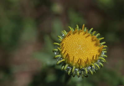 Photograph - Great Valley Gumweed 2 by Rick Mosher