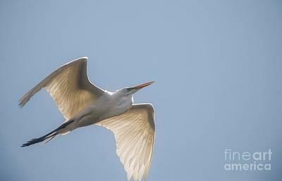 Photograph - Great White Egret - 2 by David Bearden