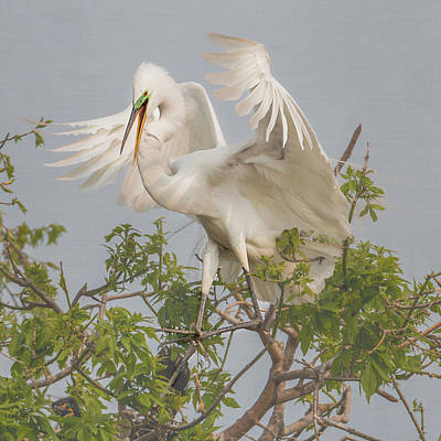 Winter Animals Rights Managed Images - Great White Egret Square #2 Royalty-Free Image by Patti Deters