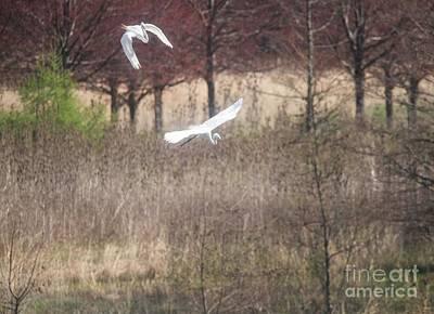 Photograph - Great White Egret - 3 by David Bearden