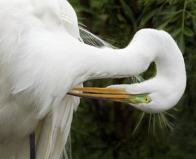 Photograph - Great White Egret by Art Cole