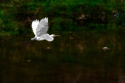 Nikki Vig Royalty-Free and Rights-Managed Images - Great White Egret At Dawn by Nikki Vig