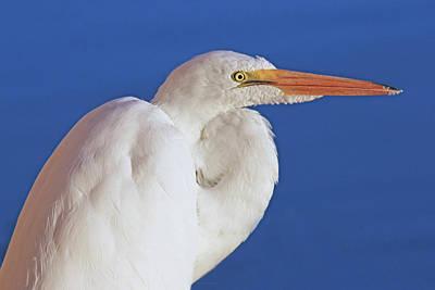 Photograph - Great White Egret Bird Portrait by Jennie Marie Schell