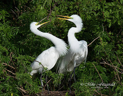 Photograph - Great White Egret Couple by Mike Fitzgerald