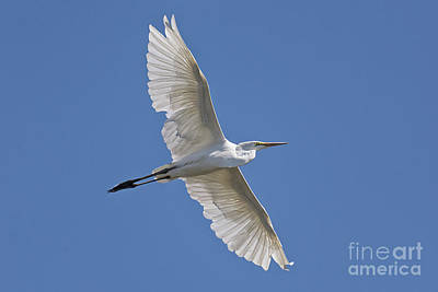 Photograph - Great White Egret by Craig Leaper