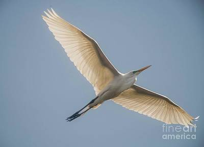 Art Print featuring the photograph Great White Egret by David Bearden