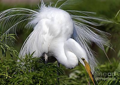 Great White Egret Displaying Plumage Art Print