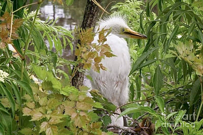 Nikki Vig Royalty-Free and Rights-Managed Images - Great White Egret Fledgling by Nikki Vig