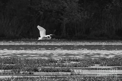 Photograph - Great White Egret Flying Grayscale by Jennifer White