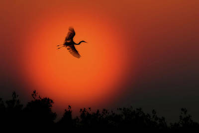 Photograph - Great White Egret Flying In To Roost by Dan Friend