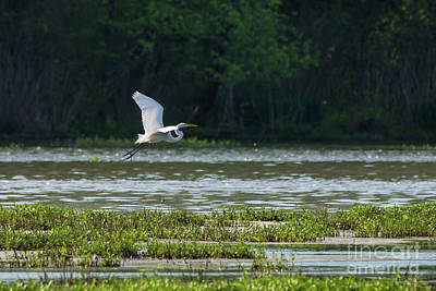 Photograph - Great White Egret Flying by Jennifer White