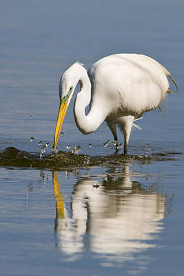 Photograph - Great White Egret by Gary Lengyel