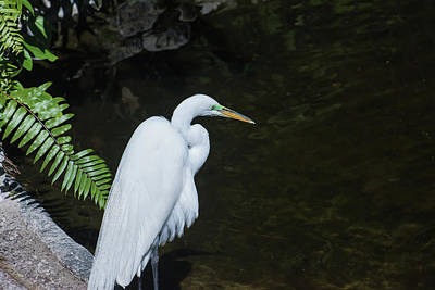Digital Art - Great White Egret by Gene Norris