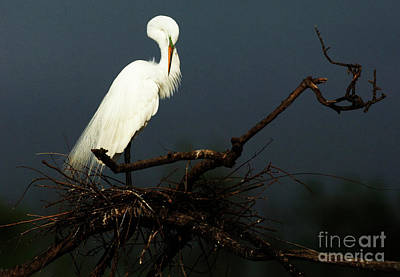 Photograph - Majestic Great White Egret High Island Texas 2 by Bob Christopher