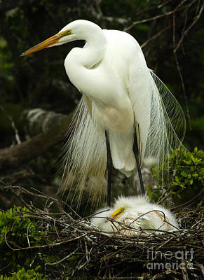 Photograph - Majestic Great White Egret High Island Texas 3 by Bob Christopher