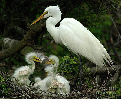 Egret Photograph - Majestic Great White Egret High Island Texas 4 by Bob Christopher