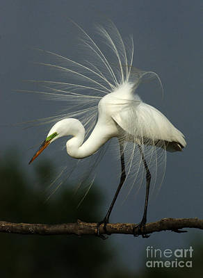 Photograph - Majestic Great White Egret High Island Texas by Bob Christopher