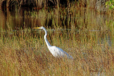 Photograph - Great White Egret Hunting by Debbie Oppermann