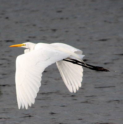 Photograph - Great White Egret In Flight by Laurel Talabere