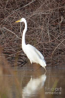 Photograph - Great White Egret In Spring by Maria Urso