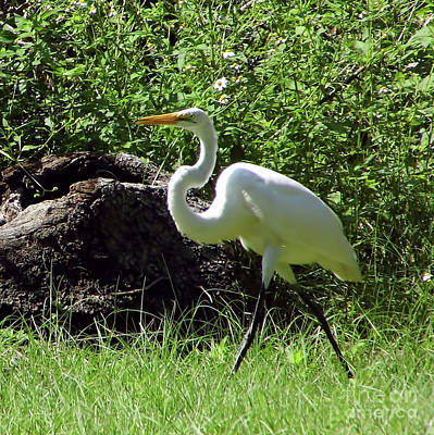 Photograph - Great White Egret In The Field by D Hackett