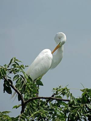 Photograph - Great White Egret by NaturesPix