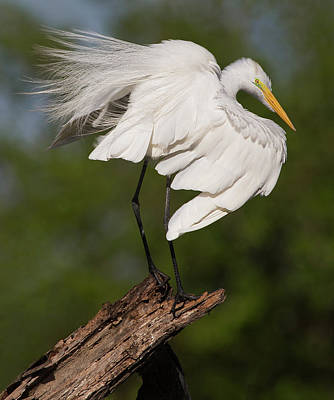 Photograph - Great White Egret Perch by Art Cole
