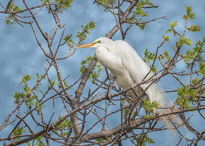 Photograph - Great White Egret Perch by Patti Deters