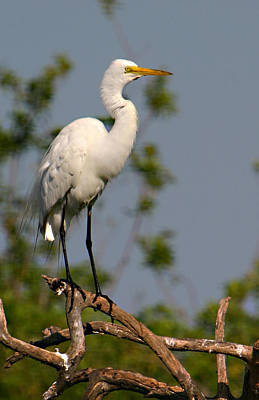 Photograph - Great White Egret Pose by Shari Jardina