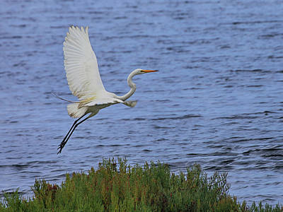 Photograph - Great White Egret by Richard Stephen