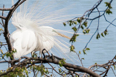 Photograph - Great White Egret Windy Feathers by Patti Deters