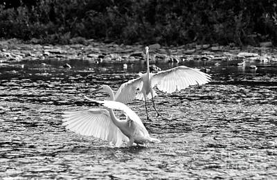 Photograph - Great White Egrets by Charline Xia