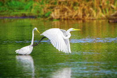 Great White Egrets Art Print by Mark Andrew Thomas