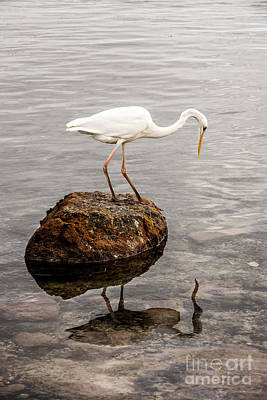 Birds Rights Managed Images - Great white heron Royalty-Free Image by Elena Elisseeva