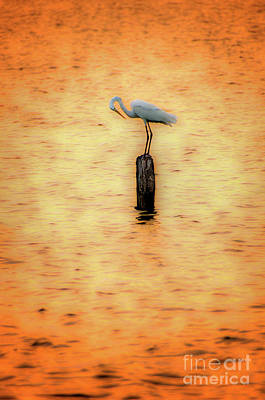 Photograph - Great White Heron On Currituck Sound Outer Banks by Dan Carmichael