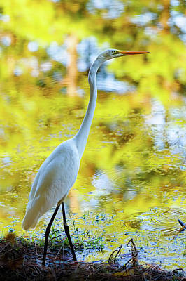 Photograph - Great White Heron by Steve Stephenson