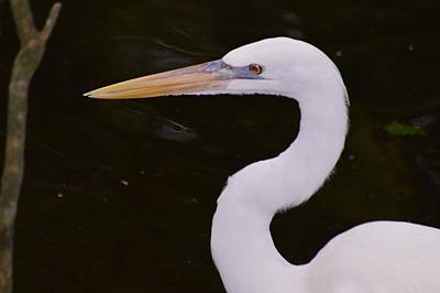 Photograph - Great White Heron by Warren Thompson