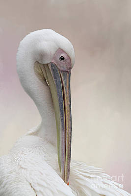 Photograph - Great White Pelican #2 by Judy Whitton