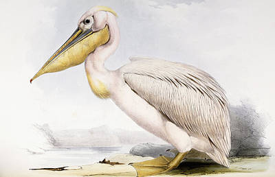 Pelican Drawing - Great White Pelican by Edward Lear