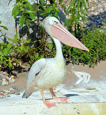 Photograph - Great White Pelican by Elaine Manley