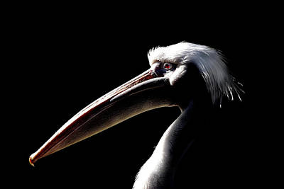 Great White Pelican Art Print