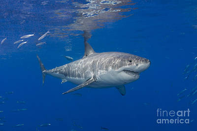 Great White Shark Art Print by Dave Fleetham