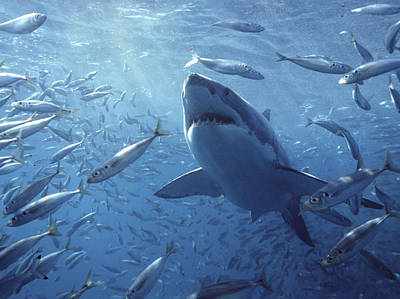 Underwater View Photograph - Great White Shark Carcharodon by Mike Parry