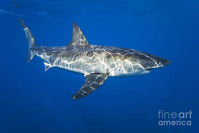 Underwater View Photograph - Great White Shark by Dave Fleetham - Printscapes