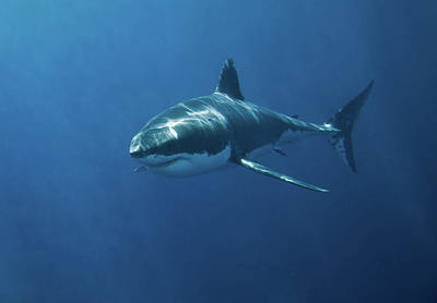 Underwater Photograph - Great White Shark by John White Photos
