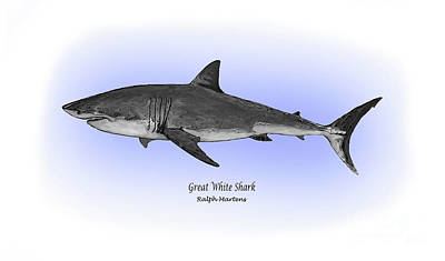 Reef Shark Drawing - Great White Shark by Ralph Martens