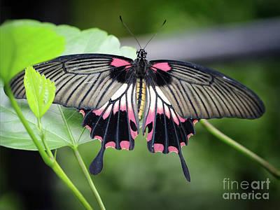 Photograph - Great Yellow Mormon Butterfly 2017 by Karen Adams