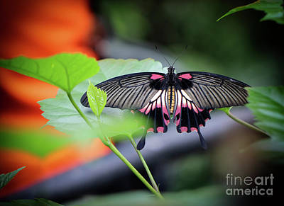 Photograph - Great Yellow Mormon Butterfly In Blooms by Karen Adams