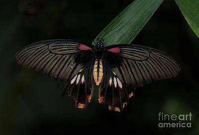 Photograph - Great Yellow Mormon Butterfly  by Ruth Jolly
