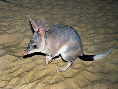 Photograph -  Greater Bilby by Miroslava Jurcik